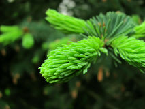 The fir-tree blossoms. On a fir-tree new branches grow in the spring Royalty Free Stock Photo
