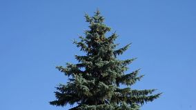Fir tree. Blue fir tree swinging on the wind in the center of the frame against clear cloudless blue sky stock video