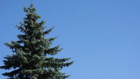 Fir tree. Blue fir tree swinging on the wind in the side of the frame against clear cloudless blue sky with copy space for your text stock video