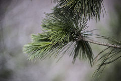 Fir-tree. In the blur background stock photos