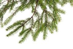 Fir tree branch Royalty Free Stock Photos