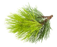 Fir tree branch. Isolated on white background Royalty Free Stock Image
