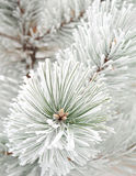 Fir tree branch. Close up in rime Stock Photo