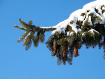 Fir-tree Branch Stock Images