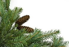 Fir tree branch. Isolated on white Stock Photos