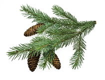Fir tree branch Stock Image
