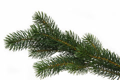 Free Fir Tree Branch Royalty Free Stock Photos - 9325998