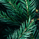 Fir tree branch background close up. Christmas tree pine branc Stock Images
