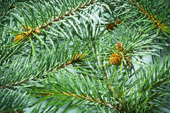 Fir tree branch background Stock Photo
