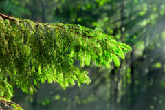Fir-tree branch on background of forest in beams of sun Royalty Free Stock Photos