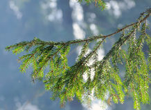 Fir tree branch against the sun Stock Images
