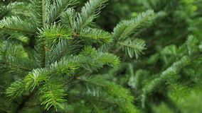 Fir tree branch background sways in the wind, close up. stock video