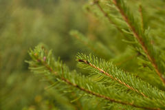 Fir tree branch. Es background for Christmas Royalty Free Stock Photography