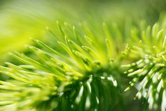 Fir tree branch Royalty Free Stock Image