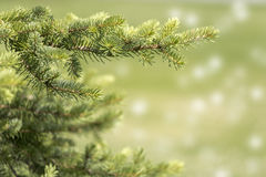 Fir tree branch close-up Stock Photo