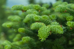 Fir Tree Branch Close Up Royalty Free Stock Photo