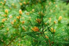 Fir tree branch close-up on green background Royalty Free Stock Photography