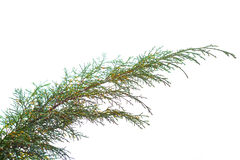 Fir Tree Branch Royalty Free Stock Images