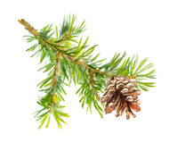 Fir tree branch with cone. Watercolor Stock Photography