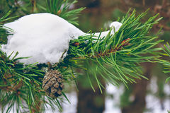Fir tree branch. With a fir cone in winter forest close up Stock Image