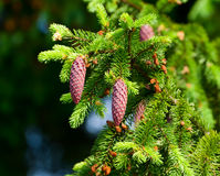 Fir-tree branch with cones Stock Photography
