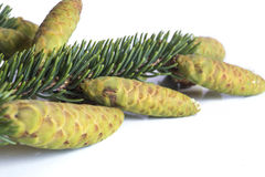 Fir tree branch and cones Royalty Free Stock Photography