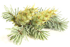 Fir tree branch and cones Stock Photo