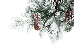 Fir tree branch with cones covered with snow Royalty Free Stock Photos