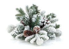Fir tree branch with cones covered with snow Stock Photos