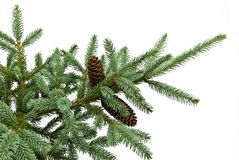 Fir tree branch with cones isolated on white. Christmas decoration Stock Photo