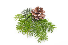 Fir tree branch and cones isolated on white background. Stock Image