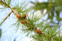 Fir tree branch with cones Stock Images