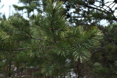 Fir-tree, branch of conifer Royalty Free Stock Image