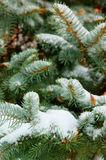 Fir tree branch covered with snow Royalty Free Stock Photography