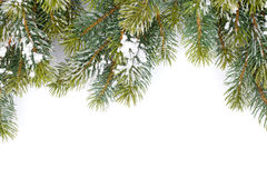 Fir tree branch covered with snow Stock Images
