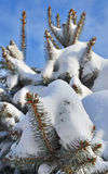 Fir tree branch covered with snow Stock Photos