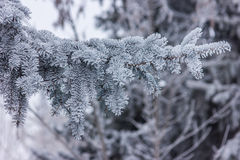 Fir tree branch covered with snow close up Stock Image