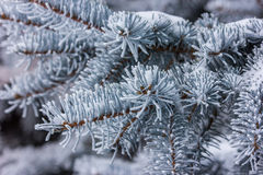 Fir tree branch covered with snow close up Stock Photography
