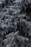 Fir tree branch covered with snow close up Stock Photos