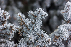 Fir tree branch covered with snow close up Royalty Free Stock Photography