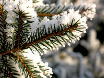 Fir tree branch covered with snow close up Stock Images