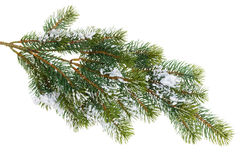 Fir tree branch covered with snow Stock Image