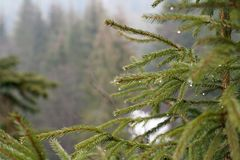 Fir tree branch with dew drops stock photos