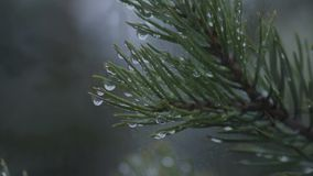 Fir-tree branch with drops of dew stock footage