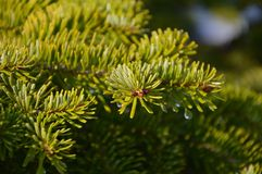 Fir-tree branch Royalty Free Stock Photo