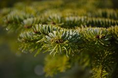 Fir-tree branch Stock Photography