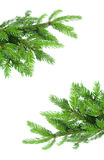 Fir tree branch frame. Fresh green  fir tree branch isolated on white background Stock Image