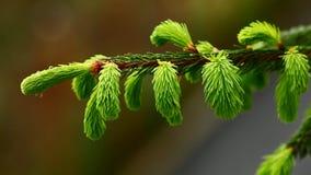 Fir tree branch stock video