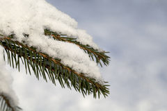 Fir tree branch with fresh snow Royalty Free Stock Images