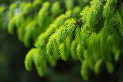 Fir tree branch with fresh young green shoots in springtime. Selective soft focus. stock photo